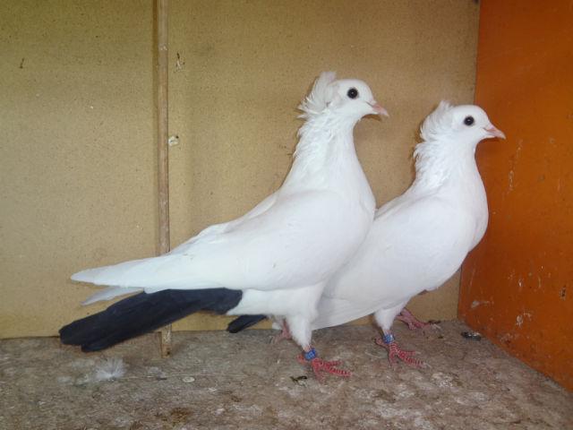 Бакинские голуби красивы и хорошо летают