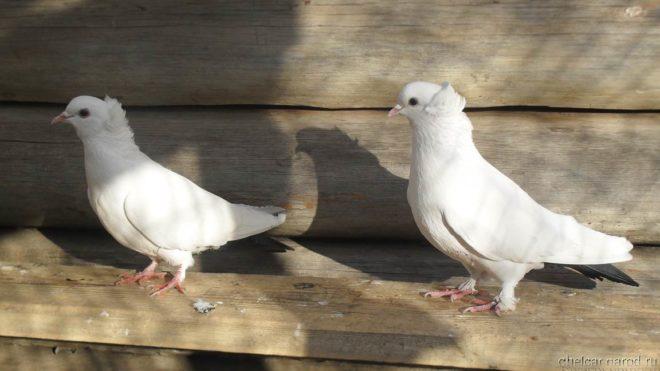 Бакинские голуби неприхотливы