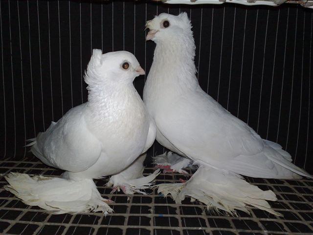 Бакинские голуби имеют красивый экстерьер