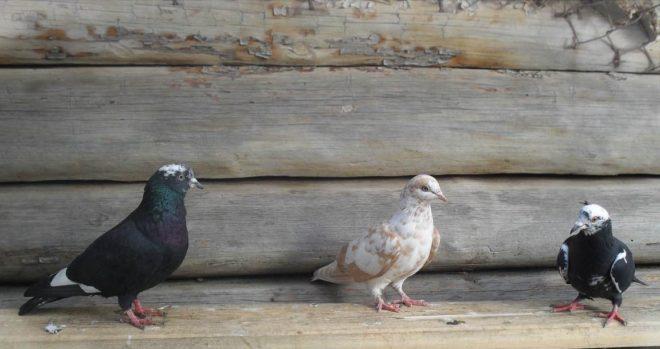Бакинские голуби не должны иметь короткий корпус, крылья и хвост