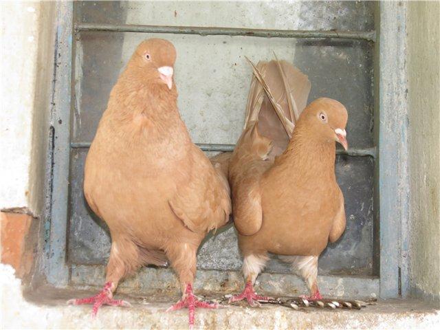 Бакинский желтый голубь очень редкий