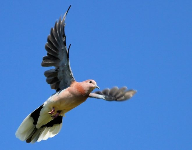 Бакинские голуби нуждаются в тренировке