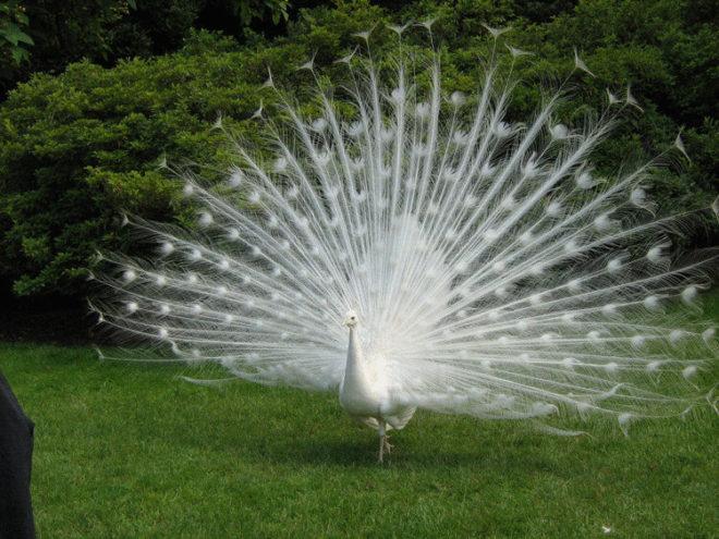 Белый павлин - подвид индийского