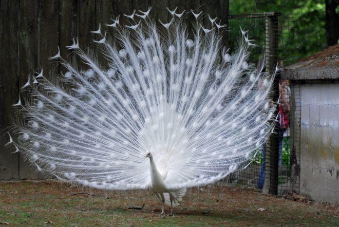 Белый павлин очень красив