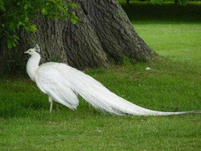 Белые павлины ценятся высоко