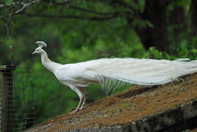 Белый павлин - дневная птица