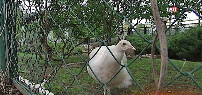 Белых павлинов разводить несложно