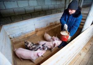 Разведение свиней как малый бизнес