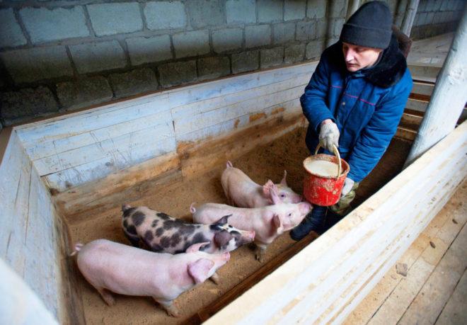 Бизнес по разведению свиней выгоден