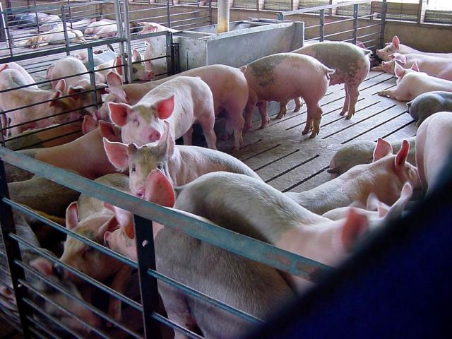 Для разведения свиней нужно специализированное помещение