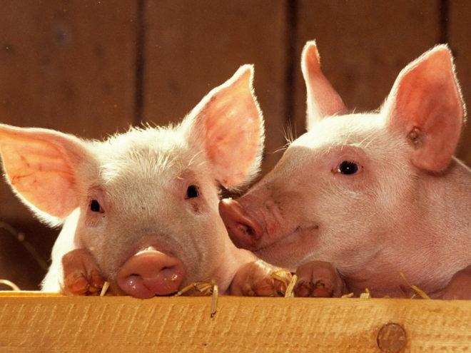 Необходимо правильно выбрать породу свиней для разведения