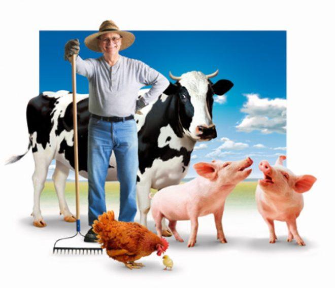 Бизнес по разведению свиней рентабелен и быстро окупается