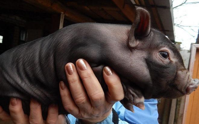 Вьетнамским свинкам нужно особое внимание
