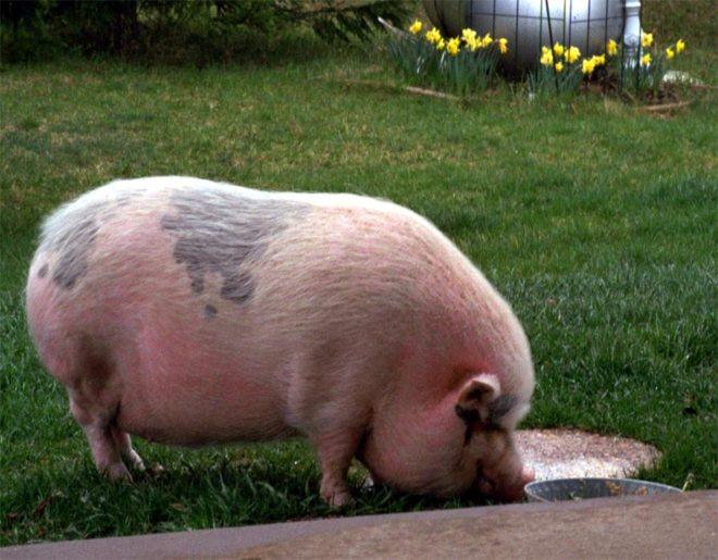 Быстрый рост свиньи улучшает вкус мяса