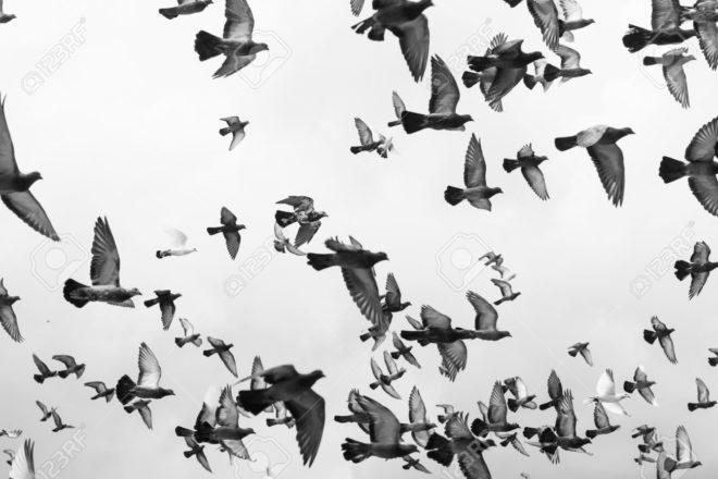 Полет бойных голубей разнообразен