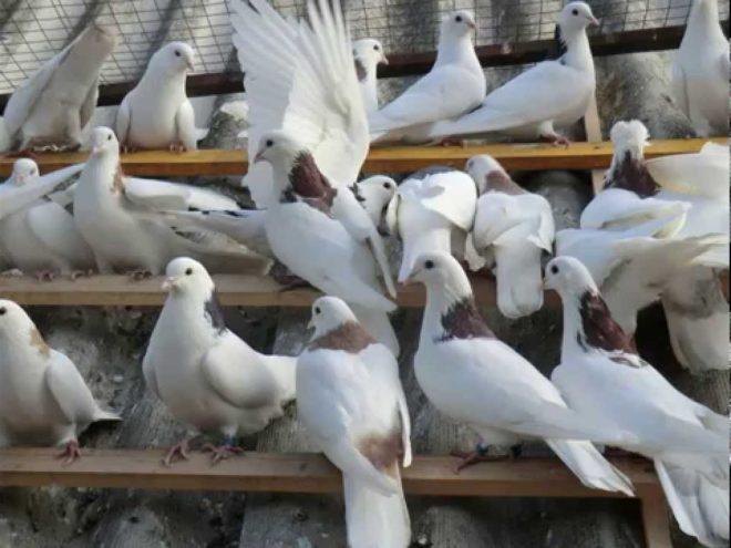 Бойные голуби красивы