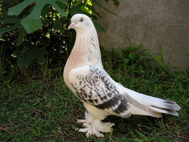 Турецкие голуби - отличные летуны