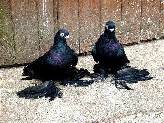 Бойные голуби Северного Кавказа очень красивы