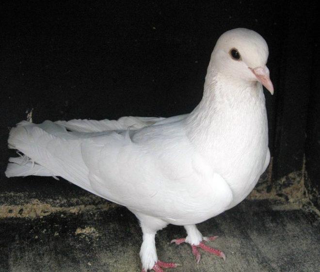 Азербайджанские голуби отлично летают