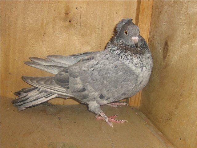 Голубь породы бакинский летный летает быстро и высоко