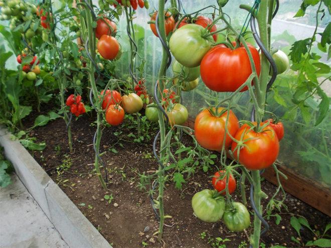 """Удобрение грунта для томатов """"Бычье сердце"""" необходимо"""