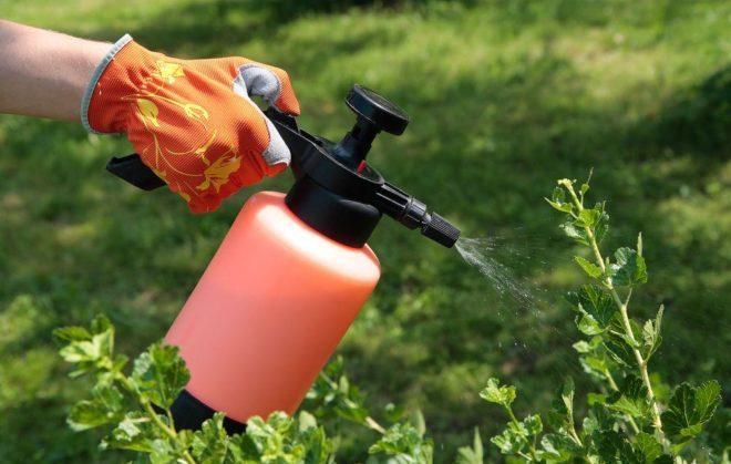 Опрыскивание томатов спасает растения от болезней