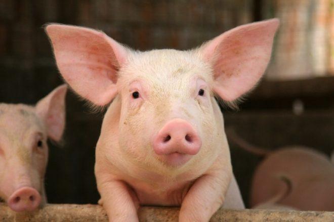 При недостаточной лактации у свиноматки поросят приходится выкармливать