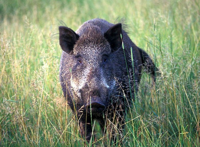 Дикий кабан отличается от домашней свиньи