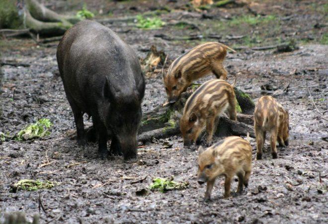Дикая свинья приносит от 3 до 8 детенышей