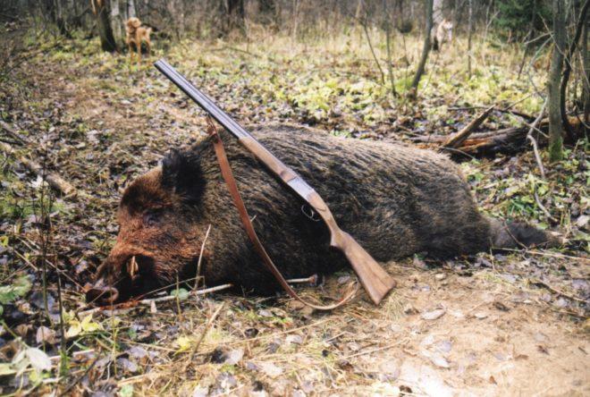 Охота на диких кабанов популярна