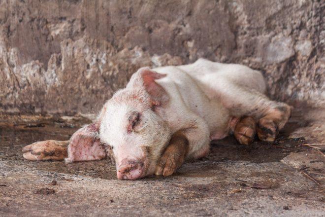 Лечить свиней самостоятельно нельзя