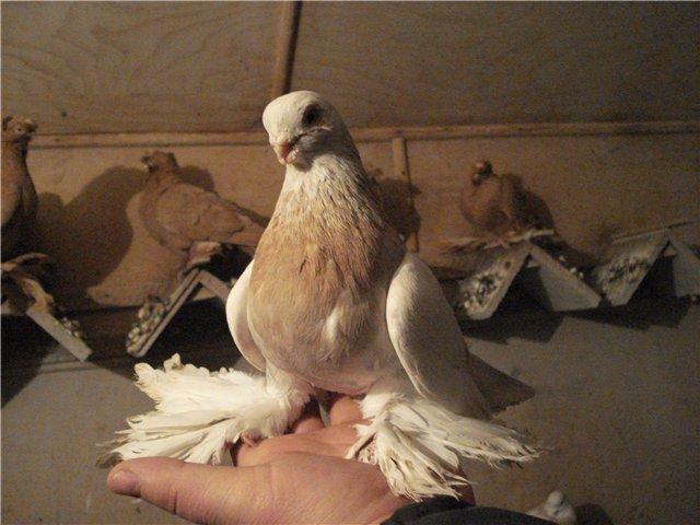 Причисление голубей к породе агаран спорно