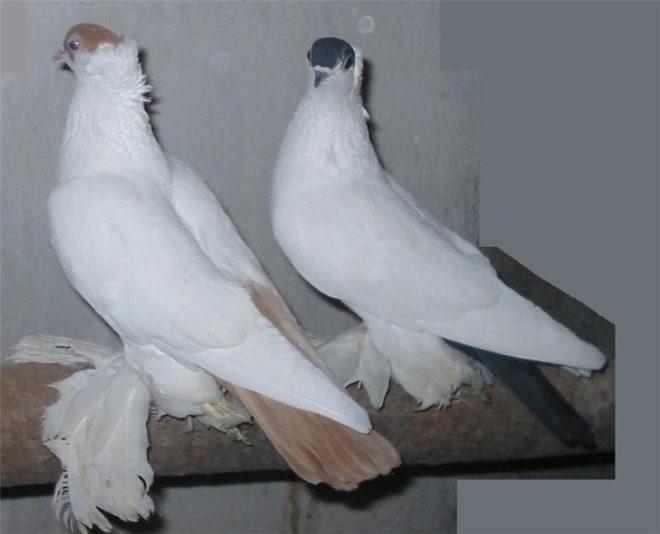 Московские голуби-монахи быстры и маневренны