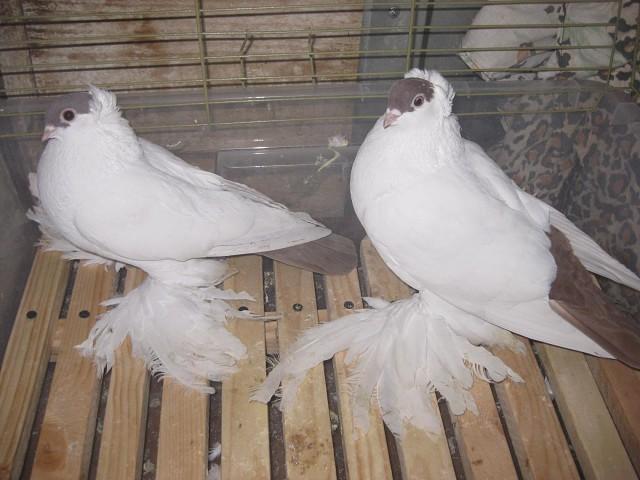Алтайские голуби-монахи очень красивы