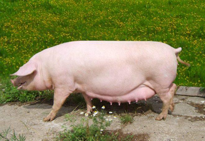 Внешний вид свиноматки свидетельствует о ее продуктивности