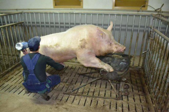 Племенные самцы свиней ценятся очень высоко