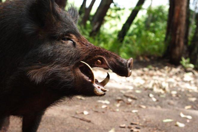 Кнуром иногда называют дикого кабана