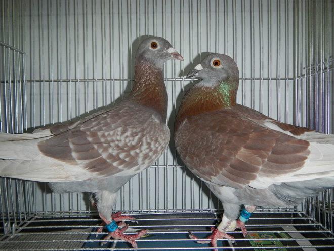 Самец голубя чаще всего крупнее самки
