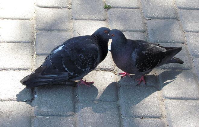 Самец ухаживает за самкой во время брачных игр