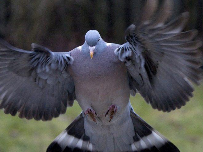 Самец голубя агрессивен