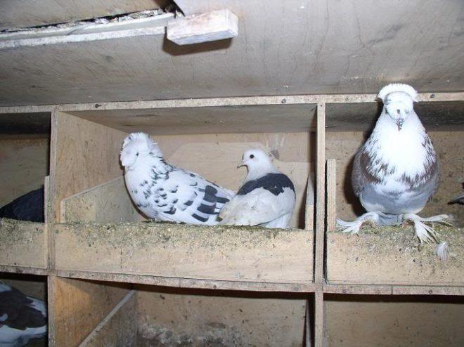 Для размножения голубей нужны гнезда