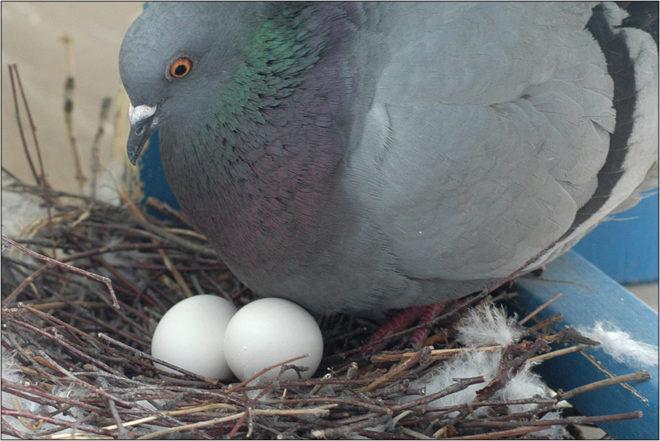 Через 10 дней голубка сносит яйца и начинает их высижвать