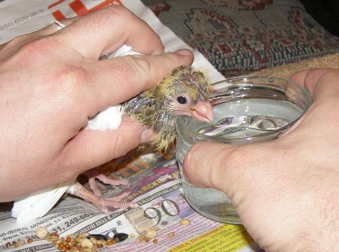 Маленькие голуби нуждаются в докармливании