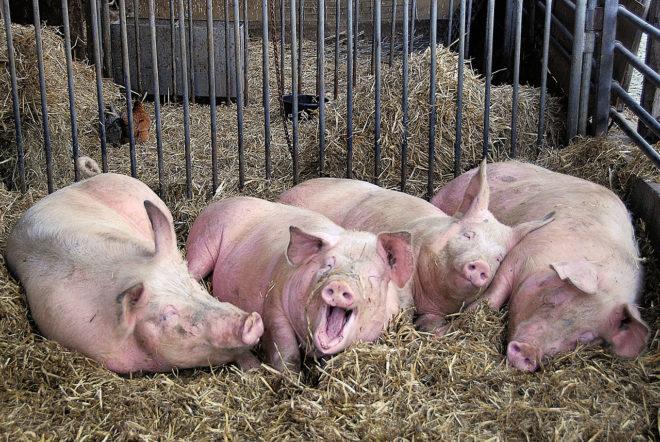 Кашель у свиней свидетельствует о заболевании