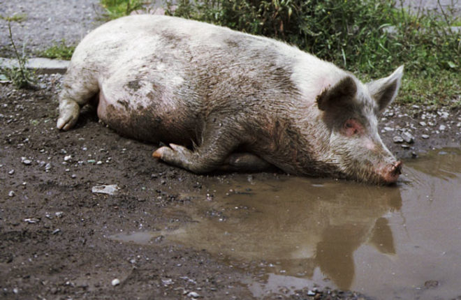 Причин свиного кашля может быть много