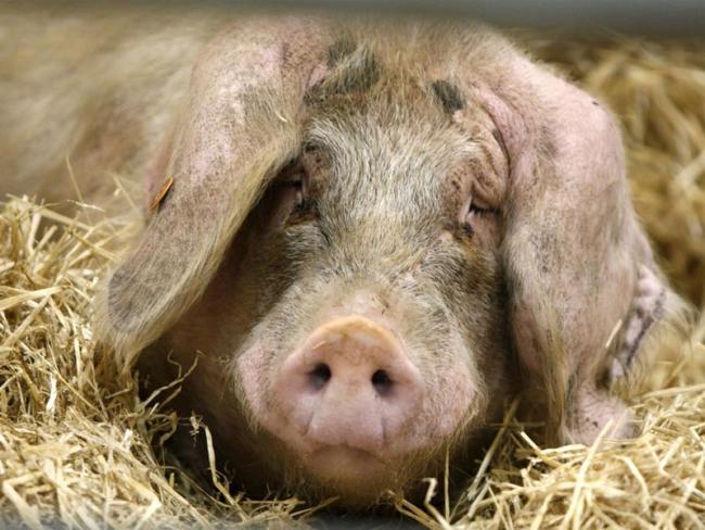 О заболевании свидетельствует изменение состояния свиньи
