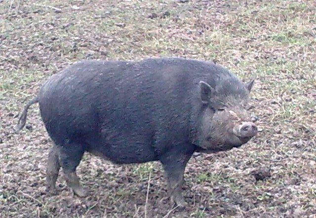 Шестимесячные корейские свиньи вкусны