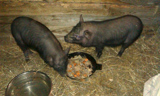 Корейские свиньи неприхотливы