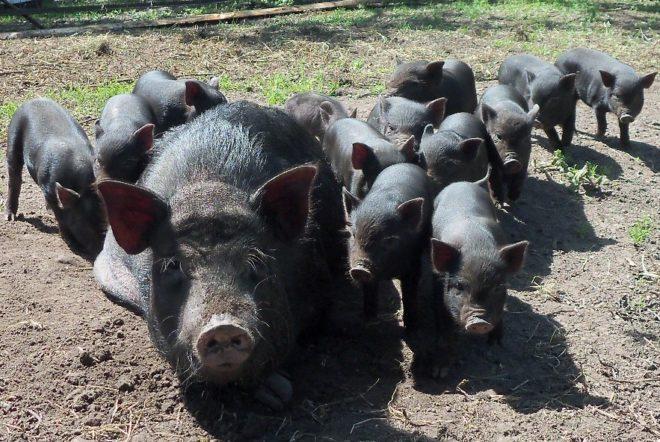 Корейские свиньи плодовиты