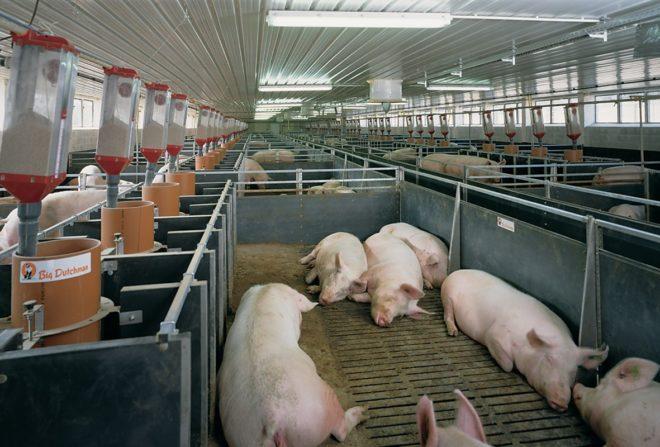 Большая белая свинья любит теплый свинарник